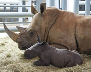 Rhino Baby with mother